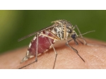 Muỗi khổng lồ Bắc Cực tấn công các điểm thi đấu World Cup ở Nga